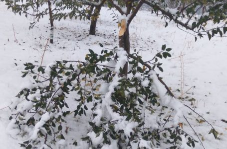 Early snowstorm influences Kashmir's fruit industry